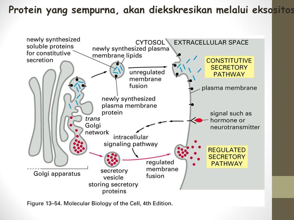 Protein yang sempurna, akan diekskresikan melalui eksositosis