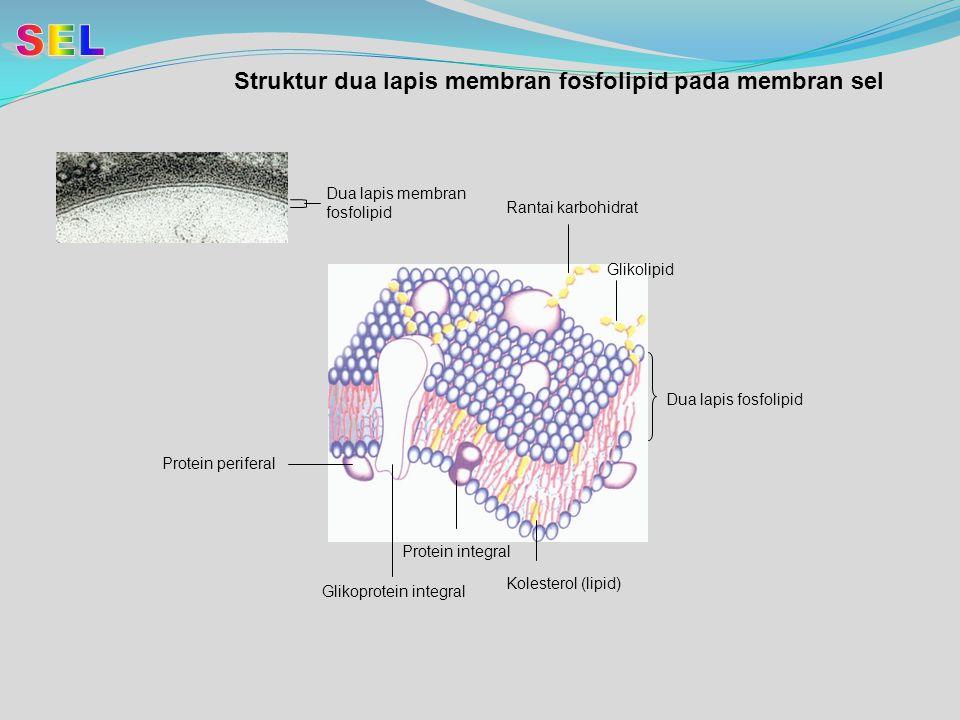 SEL Struktur dua lapis membran fosfolipid pada membran sel