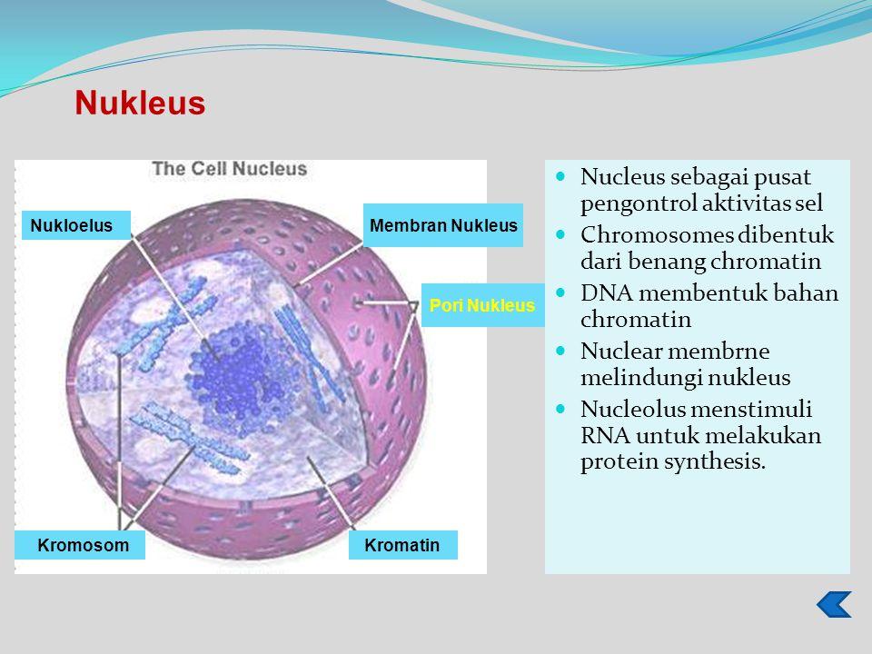 Nukleus Nucleus sebagai pusat pengontrol aktivitas sel
