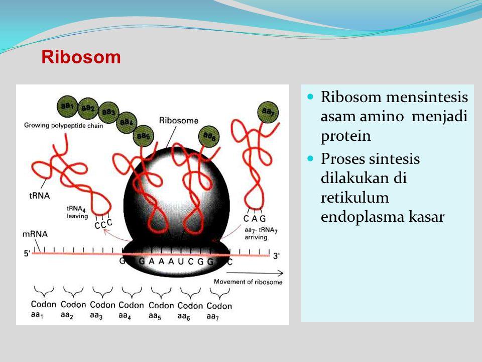 Ribosom Ribosom mensintesis asam amino menjadi protein