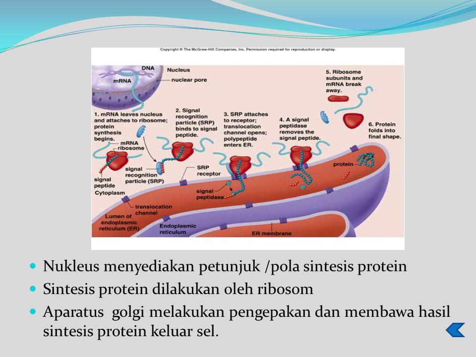 Nukleus menyediakan petunjuk /pola sintesis protein