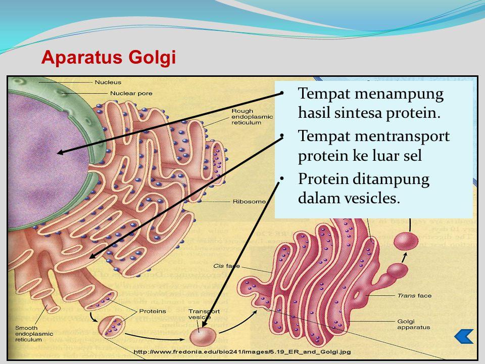 Aparatus Golgi Tempat menampung hasil sintesa protein.