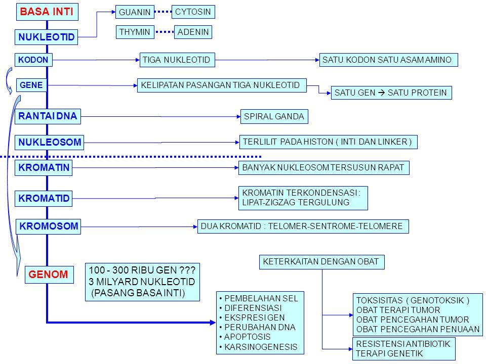 BASA INTI GENOM NUKLEOTID RANTAI DNA NUKLEOSOM KROMATIN KROMATID