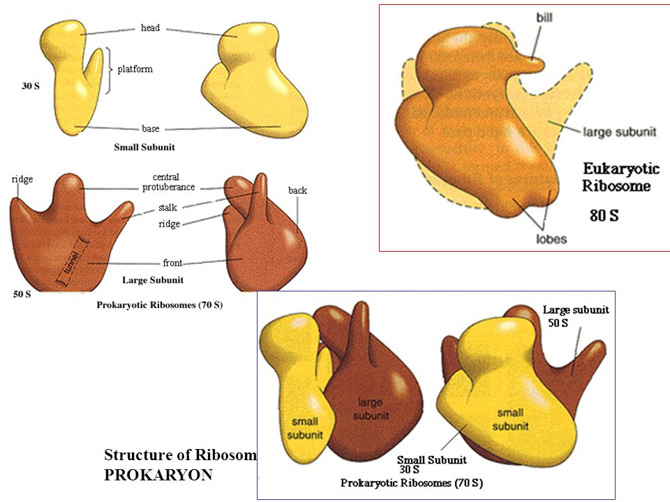 Structure of Ribosomes