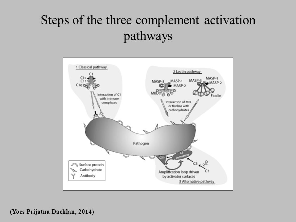 Steps of the three complement activation pathways