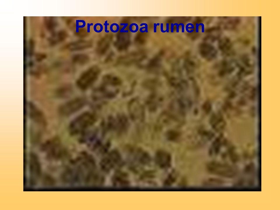 Protozoa rumen