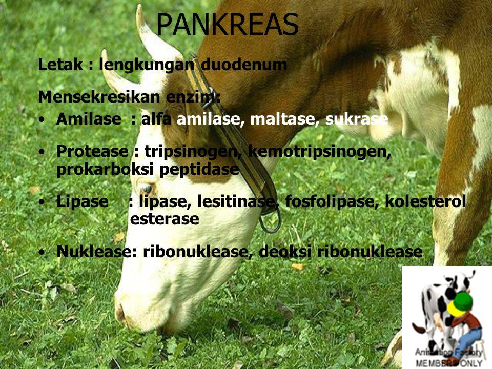 PANKREAS Letak : lengkungan duodenum Mensekresikan enzim: