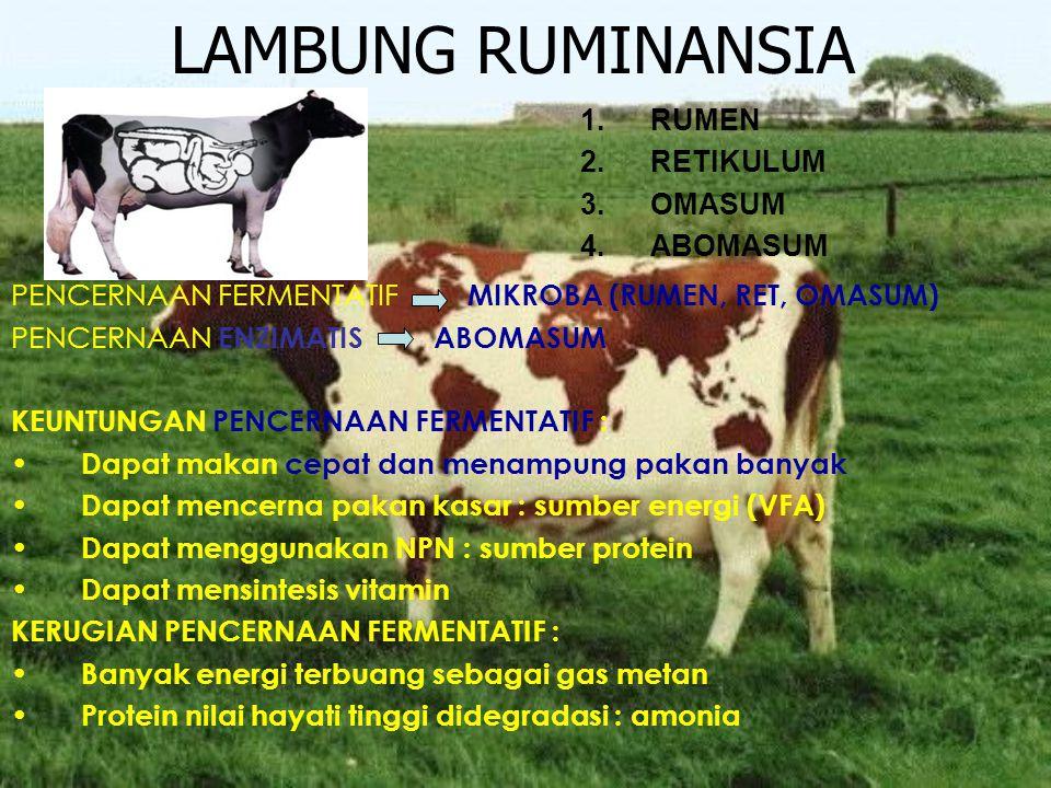 LAMBUNG RUMINANSIA RUMEN RETIKULUM OMASUM ABOMASUM