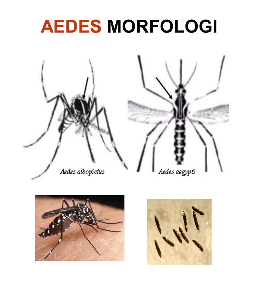AEDES MORFOLOGI