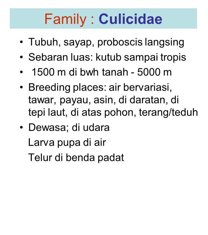 Family : Culicidae Tubuh, sayap, proboscis langsing