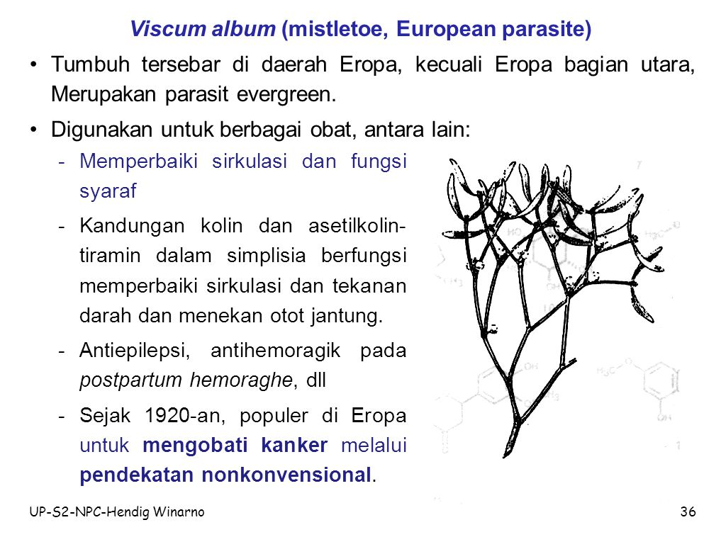 Viscum album (mistletoe, European parasite)