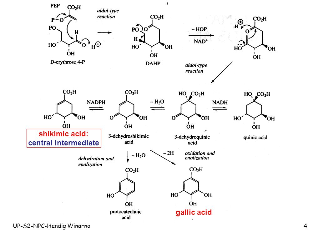 shikimic acid: central intermediate gallic acid