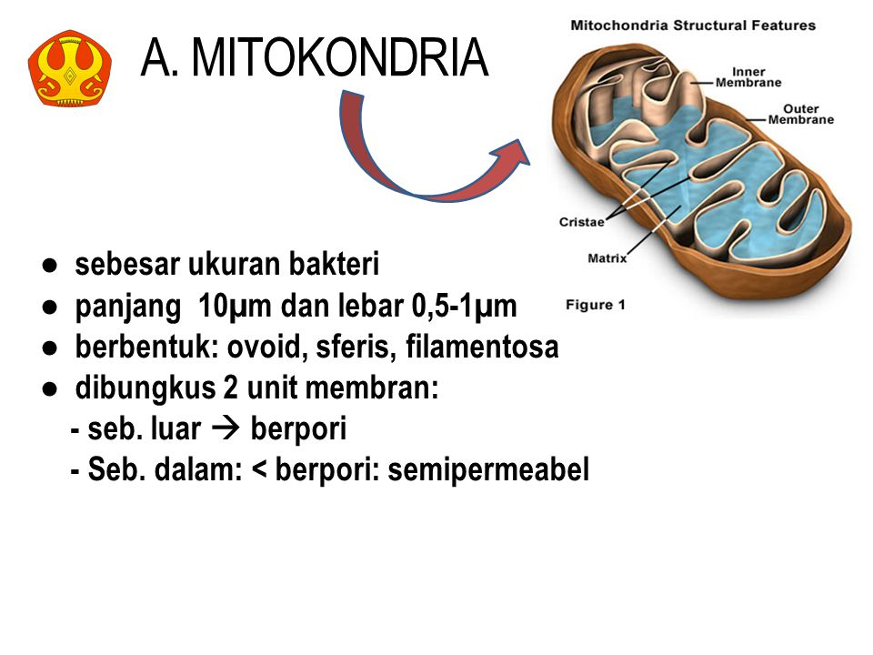 A. MITOKONDRIA ● sebesar ukuran bakteri