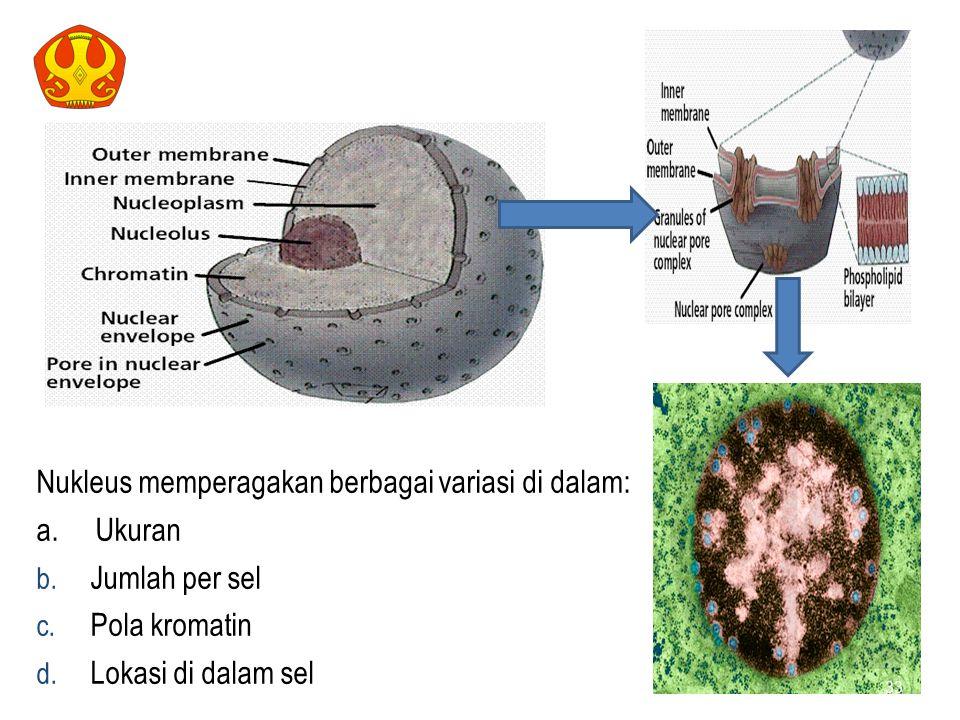 NUKLEUS Nukleus memperagakan berbagai variasi di dalam: a. Ukuran