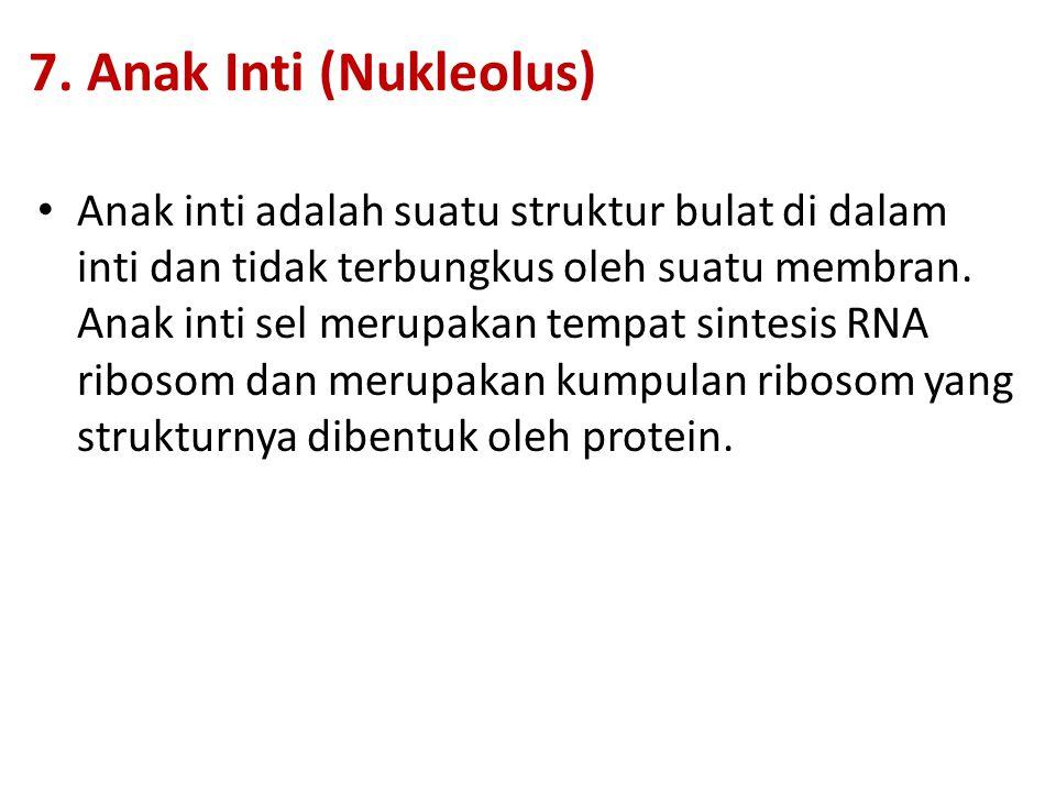 7. Anak Inti (Nukleolus)