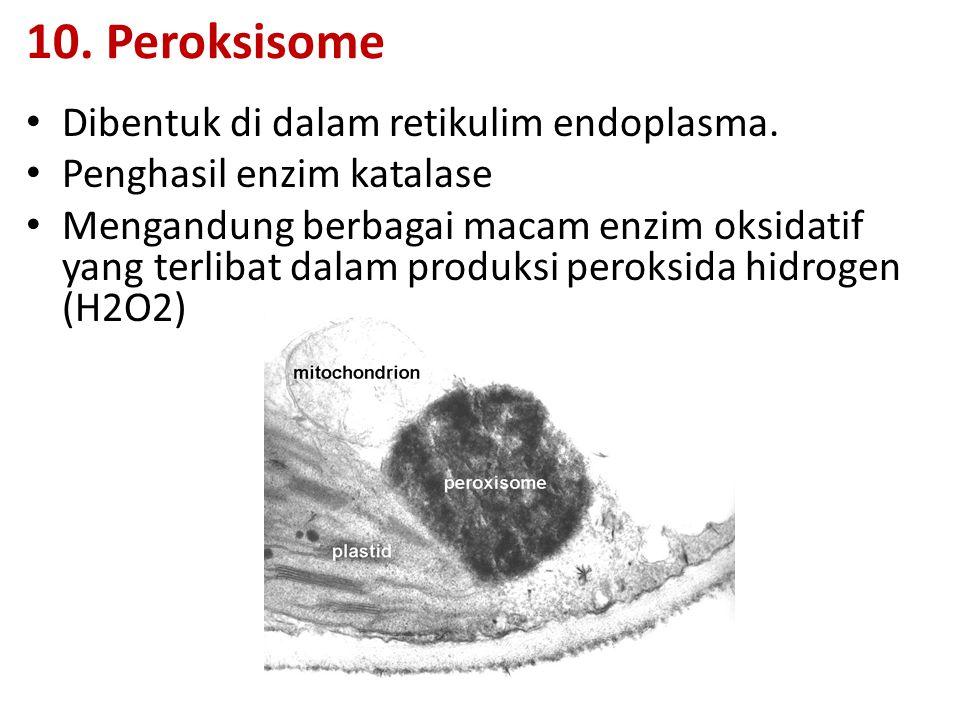 10. Peroksisome Dibentuk di dalam retikulim endoplasma.