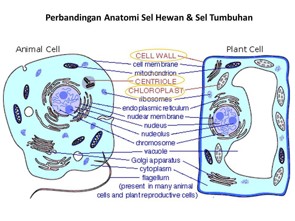 Perbandingan Anatomi Sel Hewan & Sel Tumbuhan