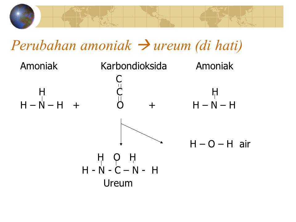 Perubahan amoniak  ureum (di hati)