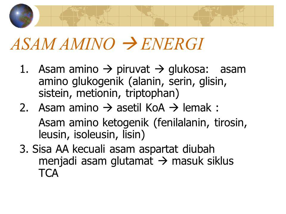 ASAM AMINO  ENERGI Asam amino  piruvat  glukosa: asam amino glukogenik (alanin, serin, glisin, sistein, metionin, triptophan)