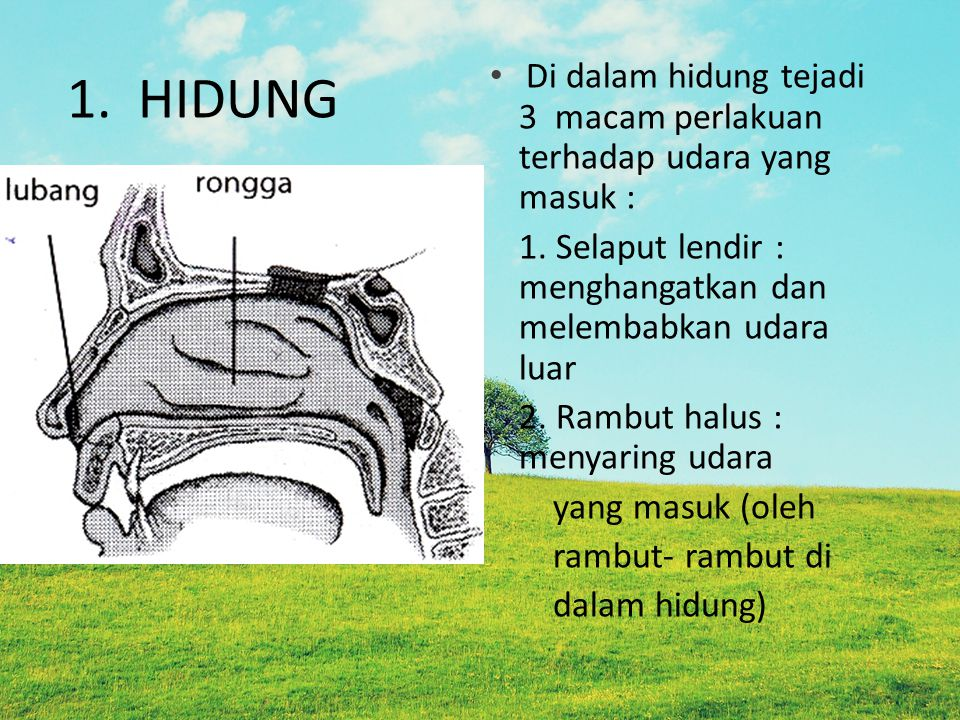 1. HIDUNG Di dalam hidung tejadi 3 macam perlakuan terhadap udara yang masuk : 1. Selaput lendir : menghangatkan dan melembabkan udara luar.