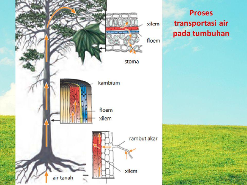Proses transportasi air pada tumbuhan