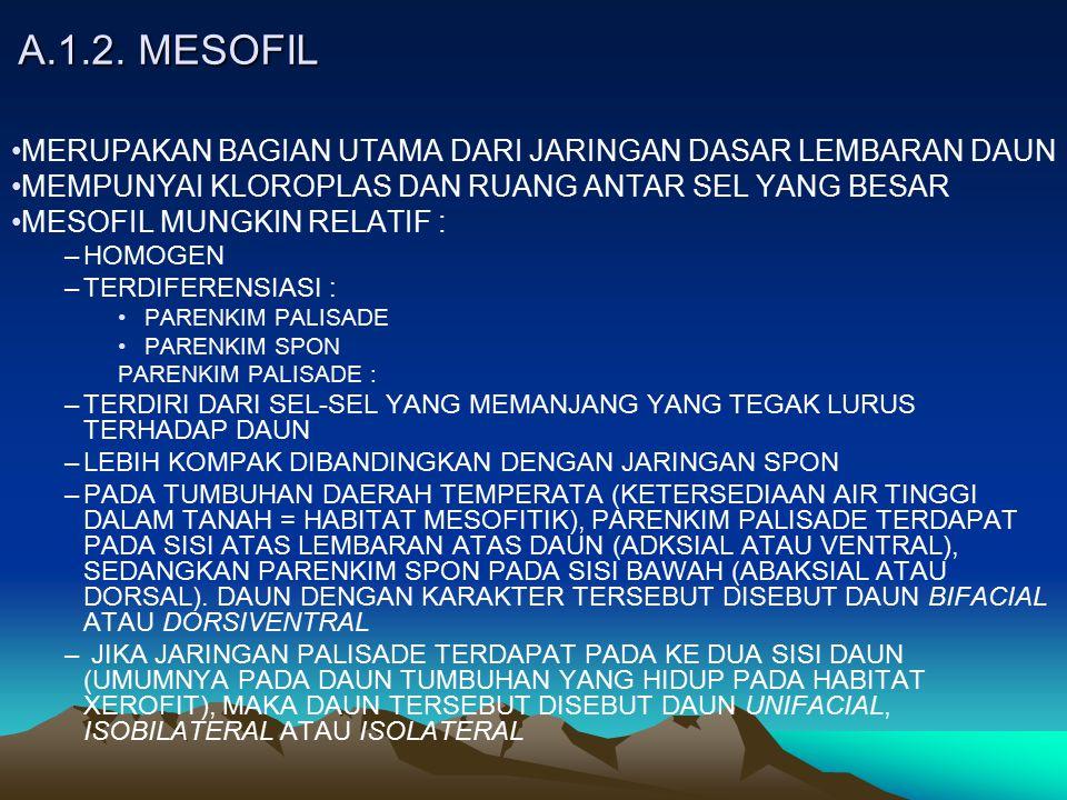 A.1.2. MESOFIL MERUPAKAN BAGIAN UTAMA DARI JARINGAN DASAR LEMBARAN DAUN. MEMPUNYAI KLOROPLAS DAN RUANG ANTAR SEL YANG BESAR.