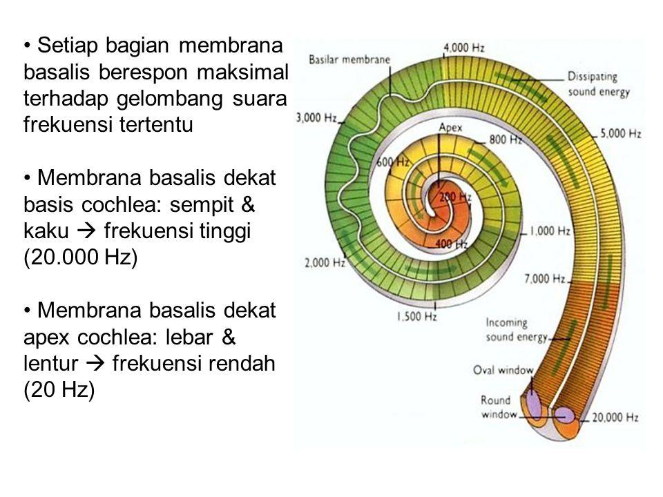 Setiap bagian membrana basalis berespon maksimal terhadap gelombang suara frekuensi tertentu