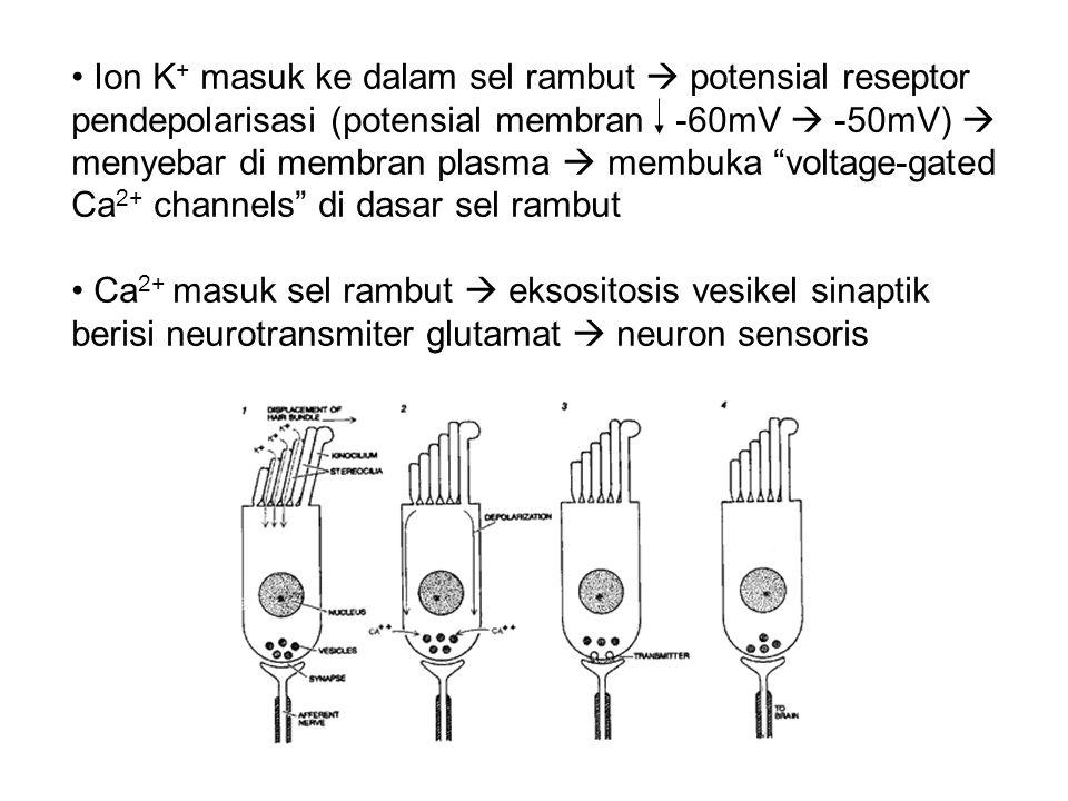 Ion K+ masuk ke dalam sel rambut  potensial reseptor pendepolarisasi (potensial membran -60mV  -50mV)  menyebar di membran plasma  membuka voltage-gated Ca2+ channels di dasar sel rambut