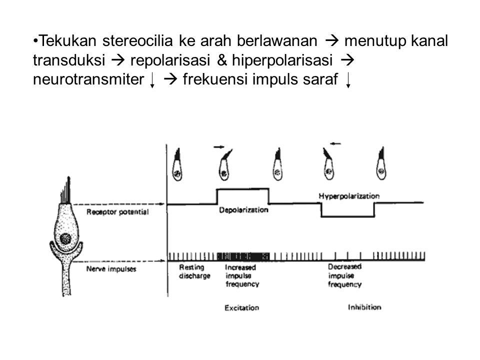 Tekukan stereocilia ke arah berlawanan  menutup kanal transduksi  repolarisasi & hiperpolarisasi  neurotransmiter  frekuensi impuls saraf