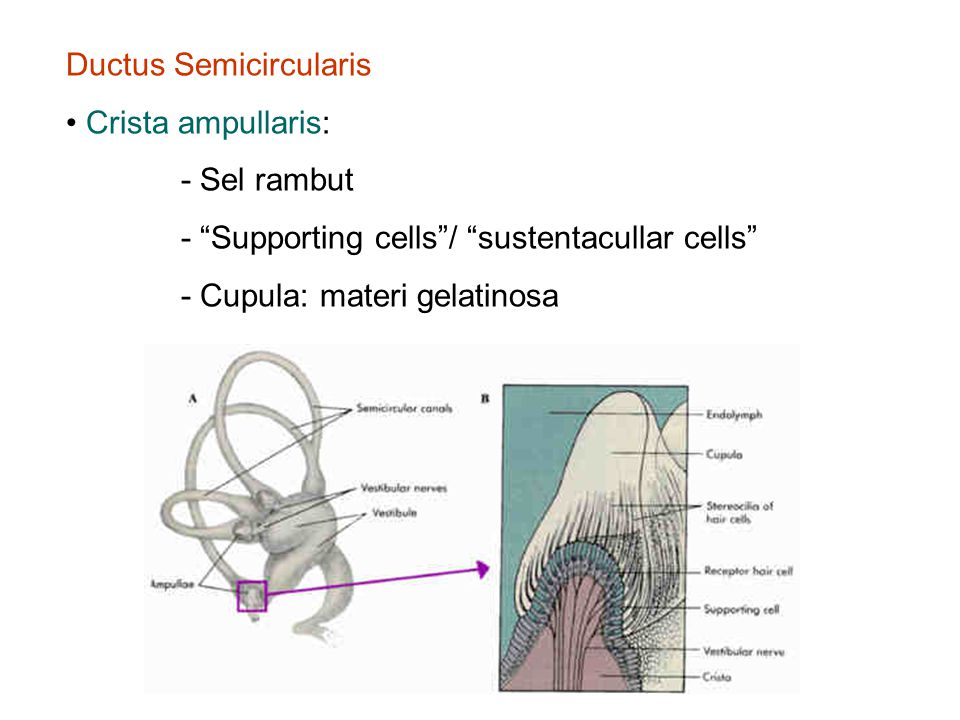 Ductus Semicircularis