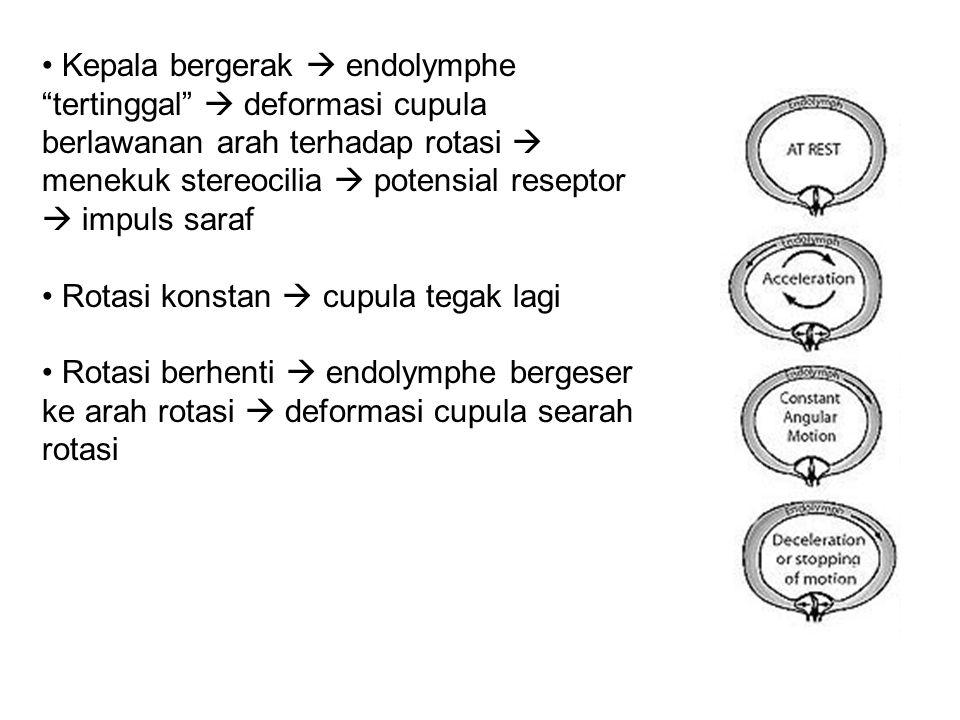 Kepala bergerak  endolymphe tertinggal  deformasi cupula berlawanan arah terhadap rotasi  menekuk stereocilia  potensial reseptor  impuls saraf