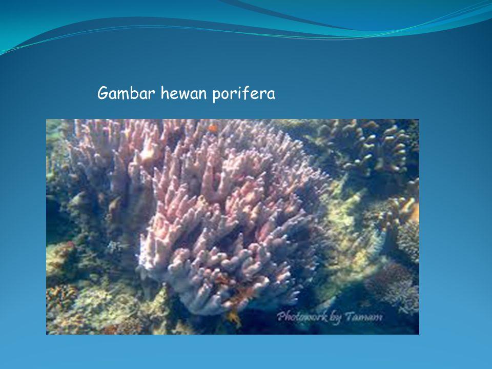 Gambar hewan porifera