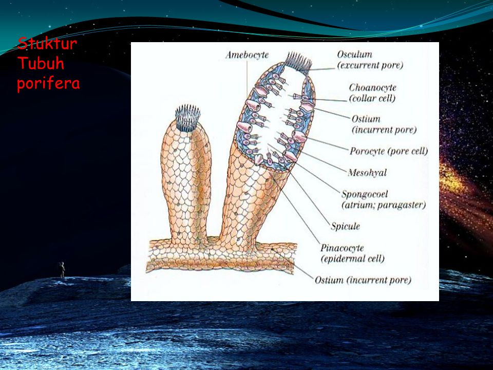 Stuktur Tubuh porifera