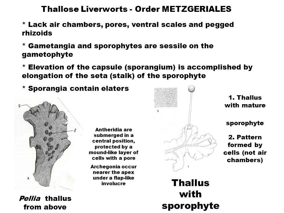 Thallose Liverworts - Order METZGERIALES