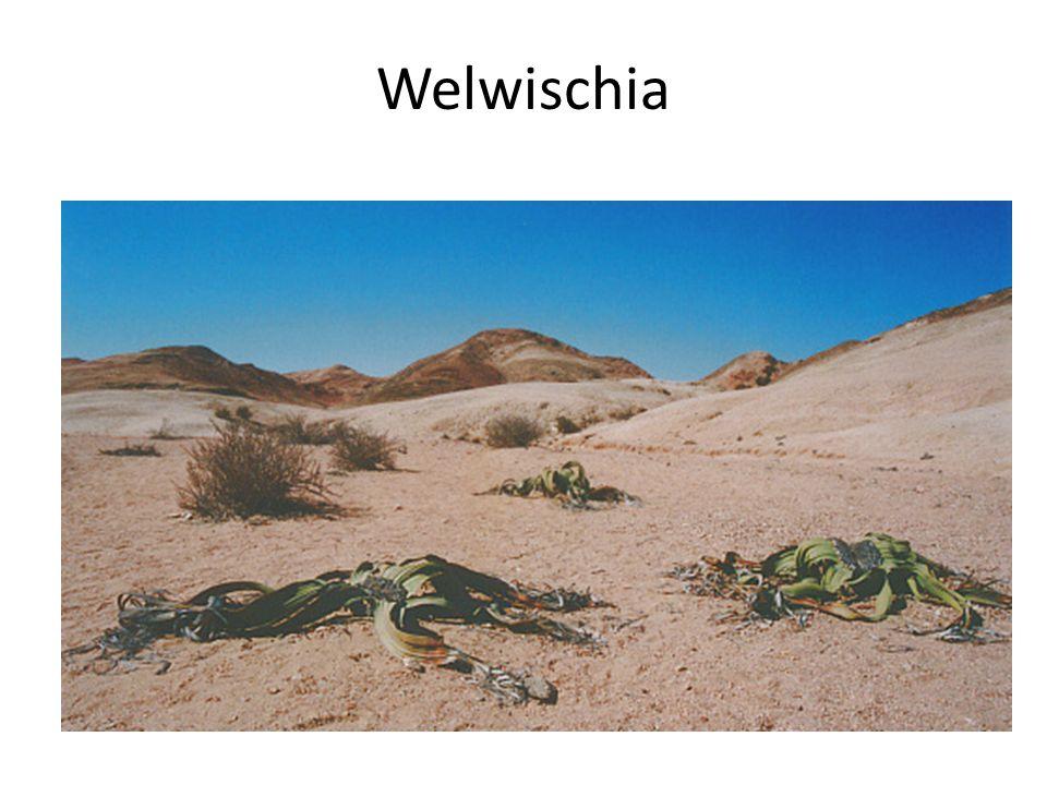 Welwischia