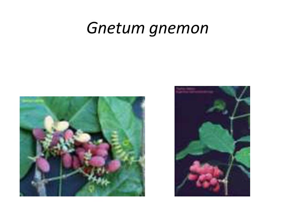 Gnetum gnemon