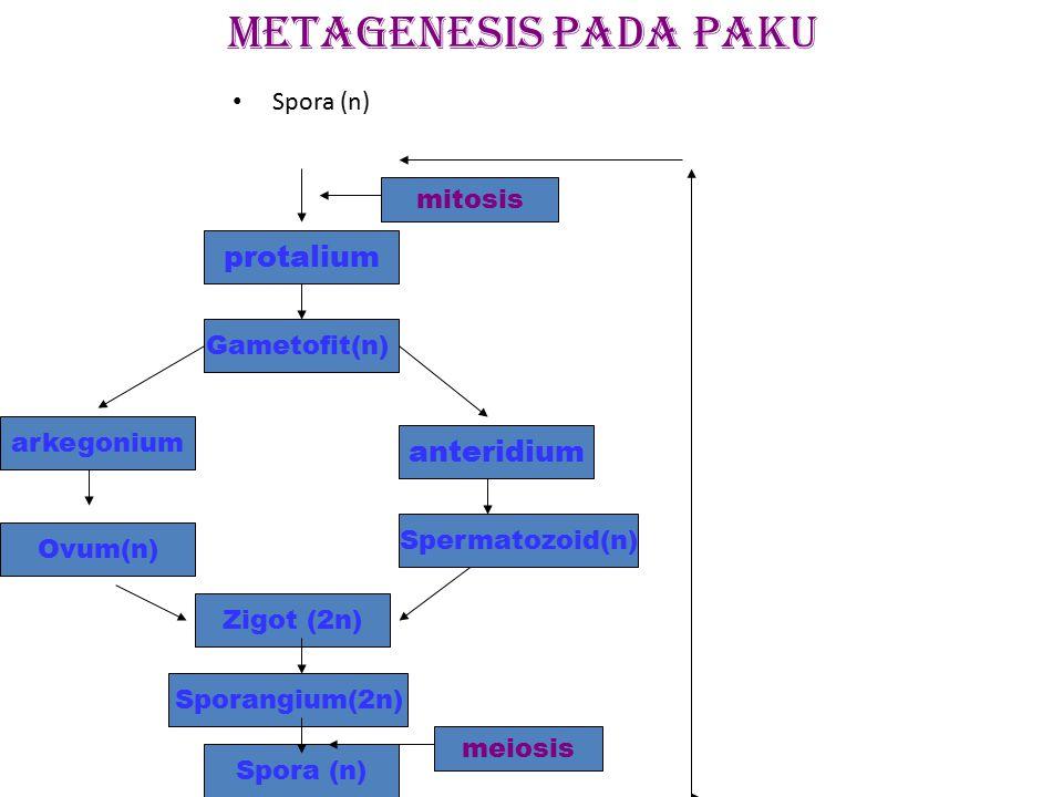 METAGENESIS pada paku protalium anteridium Spora (n) mitosis