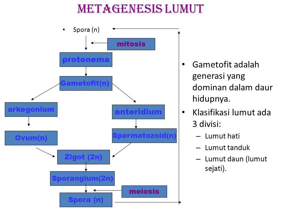 METAGENESIS LUMUT Spora (n) mitosis. protonema. Gametofit adalah generasi yang dominan dalam daur hidupnya.