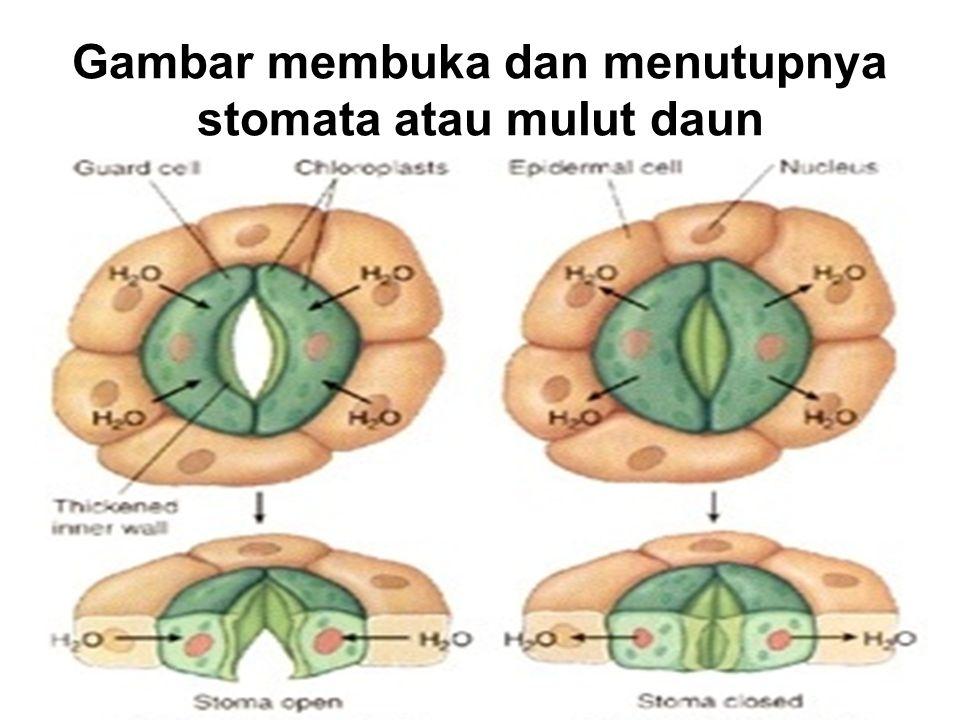 Gambar membuka dan menutupnya stomata atau mulut daun