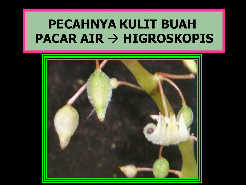 PACAR AIR  HIGROSKOPIS