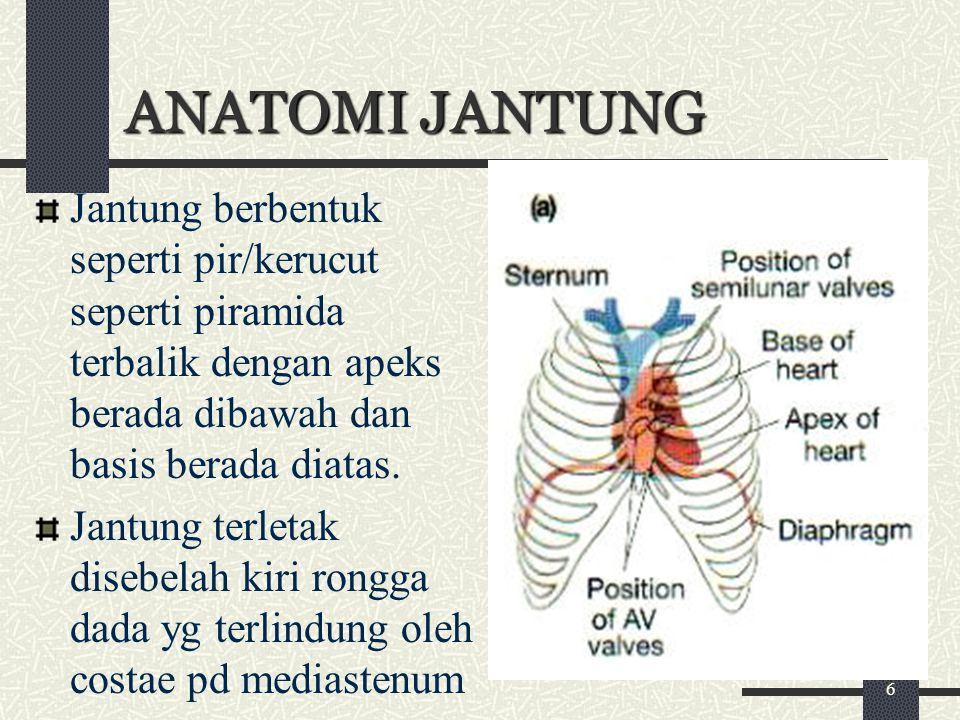 ANATOMI JANTUNG Jantung berbentuk seperti pir/kerucut seperti piramida terbalik dengan apeks berada dibawah dan basis berada diatas.