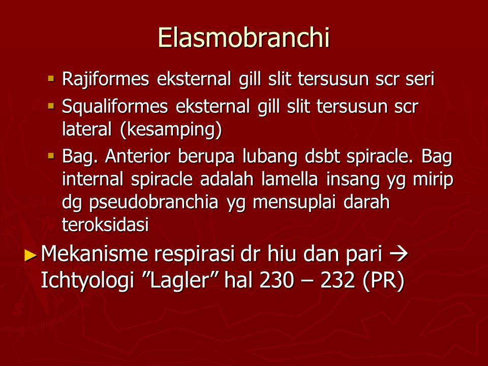 Elasmobranchi Rajiformes eksternal gill slit tersusun scr seri. Squaliformes eksternal gill slit tersusun scr lateral (kesamping)