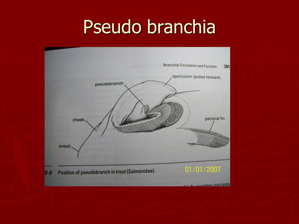 Pseudo branchia