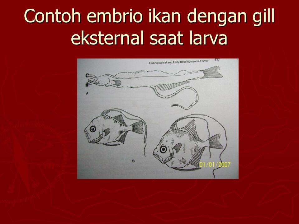 Contoh embrio ikan dengan gill eksternal saat larva