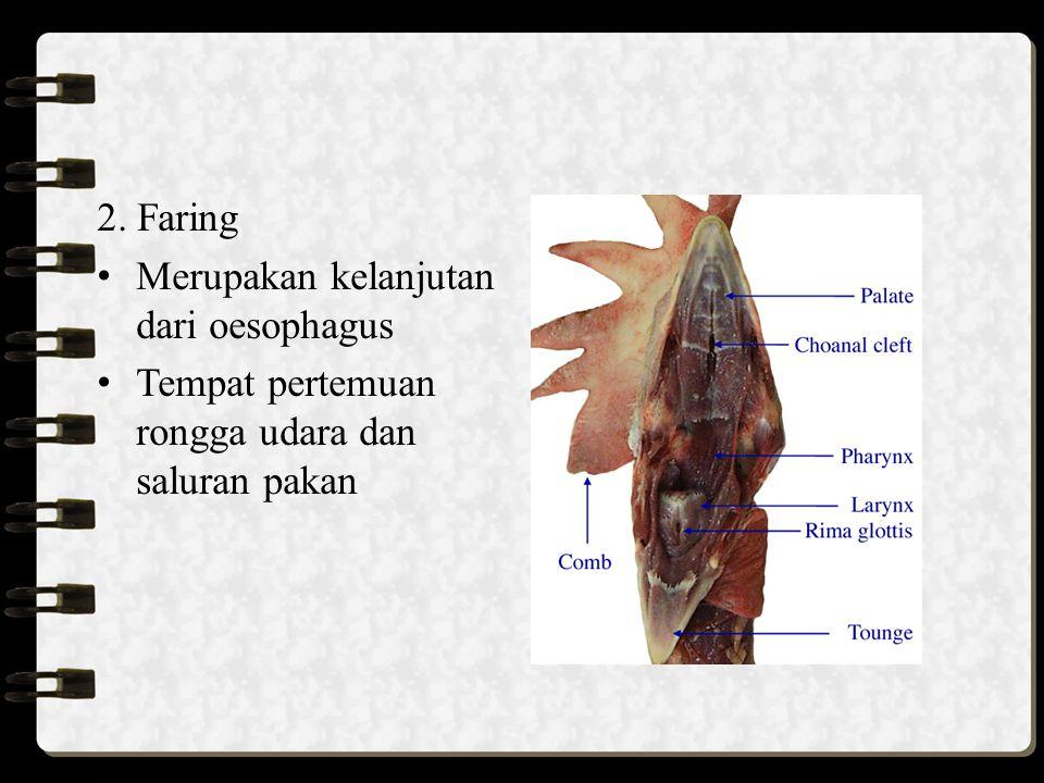 2. Faring Merupakan kelanjutan dari oesophagus Tempat pertemuan rongga udara dan saluran pakan