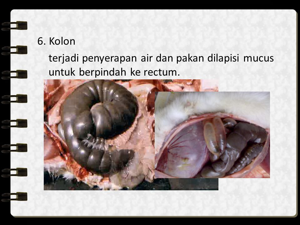 6. Kolon terjadi penyerapan air dan pakan dilapisi mucus untuk berpindah ke rectum.