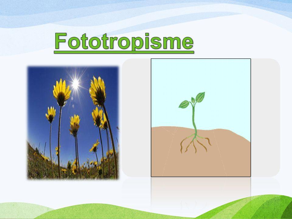 Fototropisme
