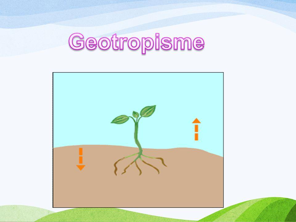 Geotropisme