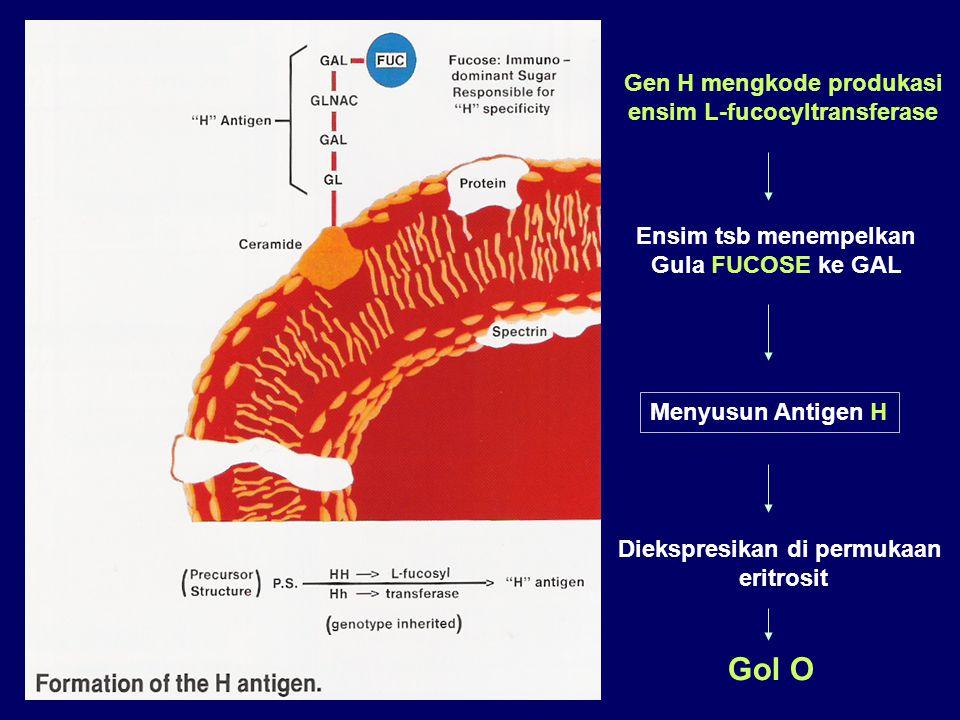 Gol O Gen H mengkode produkasi ensim L-fucocyltransferase