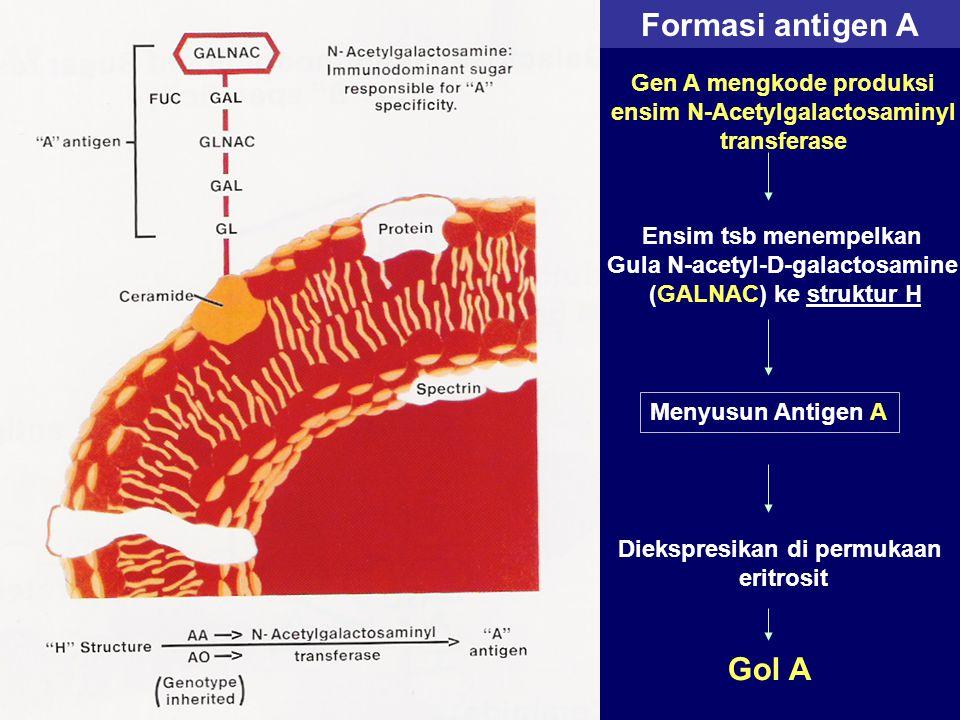 Formasi antigen A Gol A Gen A mengkode produksi